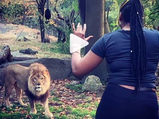 """A Woman Climbed Into The Lion's Den At The Bronx Zoo To Prove She Has """"No Fear"""""""