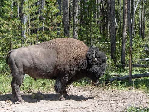 Man Gored By Bison Brings Date Back To Exact Same Trail Where She Is Promptly Gored By Same Bison
