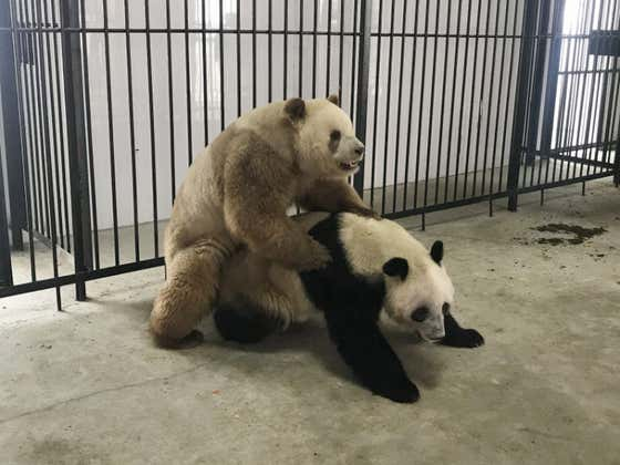 Coronavirus Positivity Update Of The Day - Ying Ying The Panda Has Finally Had Sex With His Girlfriend Le Le